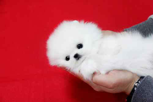 Pomeranian-Puppies