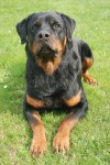 Education et dressage du Rottweiler